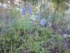 DSCN3360 Вероника колосистая в сосновом лесу
