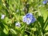 DSCN1112 Цветок вероники дубравной