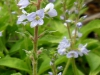 DSCN2126 Цветок вероники лекарственной