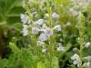 DSCN2174 Вероника лекарственная цветущая