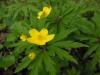 DSCN0427 Соцветие ветреницы