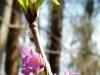 DSCN0263 Волчье лыко ранней весной