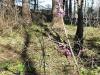 DSCN0265 Волчье лыко в лесу