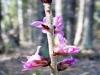DSCN0267 строение цветка волчье лыко