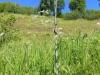 DSCN1851 Вяжечка гладкая в начале лета