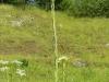 DSCN1858 Плодоношение вяжечки гладкой