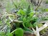 DSCN0592 Живучка ползучая весной