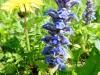 DSCN0942 Красивое соцветие живучки