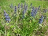 DSCN0944 Живучка ползучая- цветущее растение